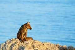 宠物狐狸 免版税库存照片
