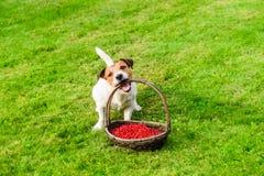 宠物的健康营养的概念和饲料与狗和成熟无核小葡萄干莓果 免版税库存图片