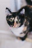 宠物虎斑猫 免版税库存照片