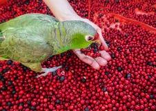 宠物,鹦鹉从他的手吃 吃莓果、蔓越桔和蓝莓的鹦鹉 许多收集的莓果在森林里 图库摄影