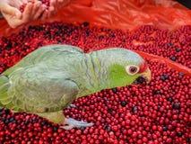 宠物,鹦鹉从他的手吃 吃莓果、蔓越桔和蓝莓的鹦鹉 许多收集的莓果在森林里 免版税库存照片