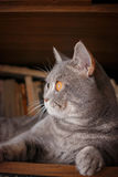 宠物:猫在与书的架子使用 库存图片