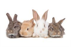 宠物 在白色背景隔绝的四兔子 免版税库存图片