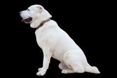 宠物-在黑背景的一条狗 allaby 免版税库存图片