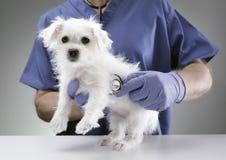 审查一只马尔他小狗的兽医医生 免版税库存照片