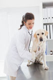 审查与听诊器的愉快的兽医一条逗人喜爱的狗 免版税库存照片