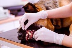 审查与疼痛的嘴的兽医德国牧羊犬狗 免版税库存照片