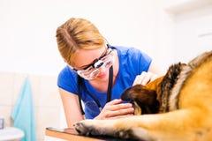 审查与疼痛眼睛的兽医德国牧羊犬狗 免版税库存照片