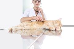 审查在桌上的兽医医生一只姜红色猫在v 库存照片
