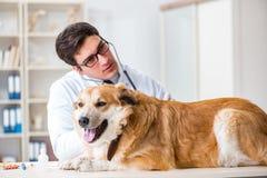审查在狩医诊所的医生金毛猎犬狗 库存照片