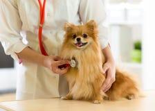 审查狗的狩医养殖与听诊器的波美丝毛狗在诊所 免版税库存照片