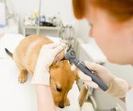 审查dog& x27的狩医; 有耳镜的s耳朵 免版税库存图片