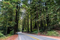 审阅红木树美国加州红杉sempervirens森林的路 免版税库存照片