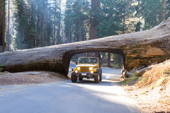 审阅美国加州红杉隧道的吉普 免版税库存图片