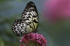 宣纸蝴蝶 库存图片