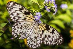 宣纸蝴蝶秀丽 库存照片