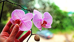 室兰花的两朵美丽的花 库存照片