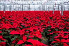 室内大温室一品红花 免版税库存照片
