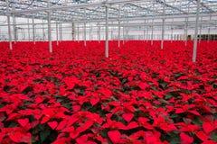 室内大温室一品红花 免版税图库摄影