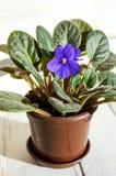 室内植物与紫色花的一朵紫罗兰在白色背景的一个棕色罐 免版税库存照片