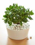 室内植物景天树ovata玉植物在白色罐的金钱树 免版税库存照片