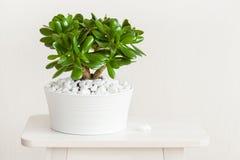 室内植物景天树ovata玉植物在白色罐的金钱树 库存图片
