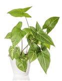室内植物植物生长 免版税库存图片