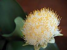 室内植物画笔的Flowerhead 免版税库存照片