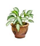 室内植物罐 库存照片