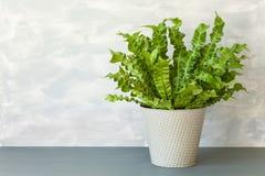 室内植物花盆的铁角蕨属巢 免版税库存图片