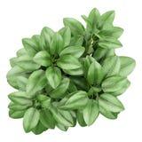 室内植物顶视图在白色隔绝的罐的 免版税图库摄影