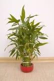 室内植物龙血树属植物sanderiana 免版税库存照片