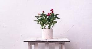 室内植物:在一个罐的一朵红色玫瑰反对白色墙壁背景 免版税库存照片