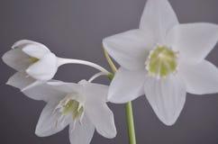 室内植物:eucharis -亚马逊百合 图库摄影