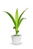 室内植物-丝兰的杨新芽一棵盆的植物被隔绝在w 图库摄影