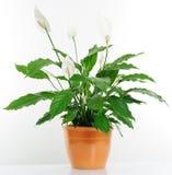 室内植物 免版税库存照片