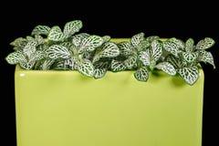 室内植物Fittonia。 免版税库存照片