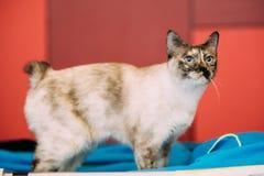 室内湄公河短尾的猫小猫 库存图片