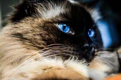 室内猫里约 免版税库存图片