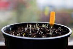 室内种子播种 图库摄影