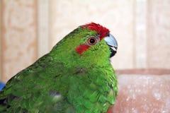 室内红被加冠的长尾小鹦鹉 免版税库存图片