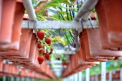 室内草莓水耕的农场在马来西亚 免版税库存照片