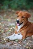 室外一条可爱的棕色的狗的画象 库存照片