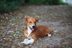 室外一条可爱的棕色的狗的画象 库存图片