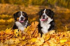 室外两Bernese的狗 免版税库存照片