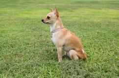 室外奇瓦瓦狗的狗 免版税库存图片