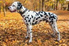 室外宠物的达尔马提亚狗 免版税库存照片