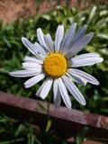 室外开花的雏菊 库存照片