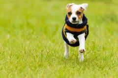 室外杰克罗素的狗 图库摄影