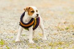 室外杰克罗素的狗 免版税库存照片